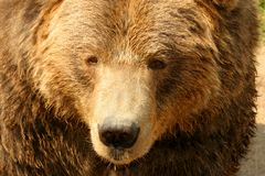 Grizzly Bear. (Ursus arctos). Close-up of North American . Can be unpredictable with young cubs in close proximity Royalty Free Stock Images