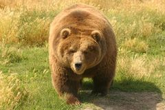 Grizzly Bear. (Ursus arctos). Close-up of North American . Can be unpredictable with young cubs in close proximity Stock Photography