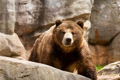 Grizzly Bear. Walking Forward Among the Boulders stock images