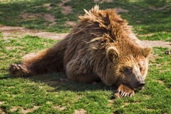 Grizzly bear. Over a tree in a zoo Royalty Free Stock Image