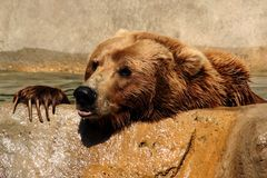 Grizzly Bear. Peeking out over the top of a pond royalty free stock photography