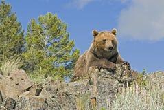 Grizzly bear. On Montana ridge Royalty Free Stock Image