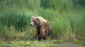 Grizzly bear. Sow walking from tall grasses in SW Alaska Royalty Free Stock Photography