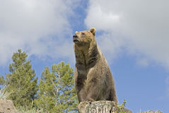 Grizzly bear. Sitting on a Montana ridge Stock Image
