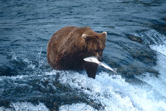 Grizzly bear. With her catch of migrating salmon Stock Photos