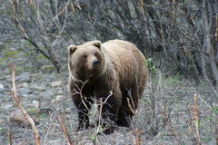 Grizzly Bear. In the trees at Denali National Park Stock Images