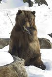 Grizzly Bear. Cute Grizzly Bear stock images