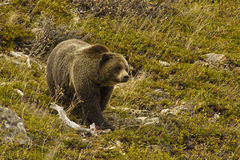 Grizzly Bear. Large Grizzly Bear in Alpine Setting Stock Photos