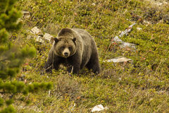 Grizzly Bear. Large Grizzly Bear in Alpine Setting Royalty Free Stock Images