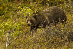 Grizzly Bear. Large Grizzly Bear in Alpine Setting Stock Image