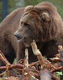 Grizzly Bear 8. Grizzly Bear foraging near Yellowstone National Park in Montana Stock Photography