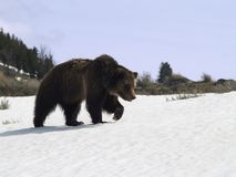 Grizzly Bear. In Yellowstone National Park, Wyoming, USA Stock Images
