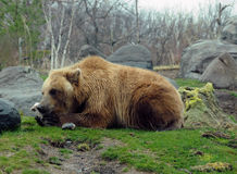 Grizzly bear. Giant grizzly bear in Kamchatka, Russia Stock Images