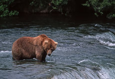 Grizzly bear. Huge male grizzly bear fishing at waterfall Royalty Free Stock Photography
