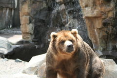 Grizzly bear. A grizzly bear at a zoo Stock Image