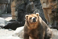 Grizzly bear. Portrait of grizzly bear outdoors with rocky background Stock Images