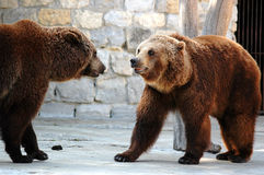 Grizzly bear. Two grizzly bears Stock Photography