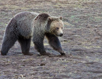 Grizzly bear. In Yellowstone park Stock Photo