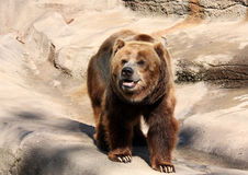 Grizzly Bear. A cute large cuddly brown grizzly bear smiling Stock Photo