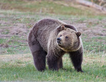 Grizzly bear. In Yellowstone park Stock Images