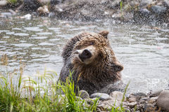 Grizzly bear Royalty Free Stock Photography