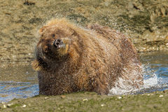 Grizzly Bear. Adult Alaskan Coastal Brown Bear aka Grizzly Bear Shaing Off Water From Stream Stock Photos