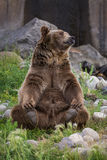 Grizzly bear. Adult male grizzly bear sitting on his rear end reaching for his rear feet stock image