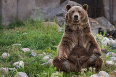 Grizzly bear. Adult male grizzly bear sitting on his rear end reaching for his rear feet