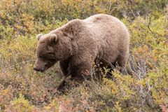 Grizzly Bear  in Alaska Royalty Free Stock Photo