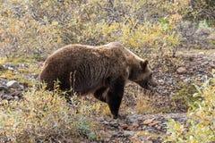 Grizzly Bear in Alaska Stock Photos