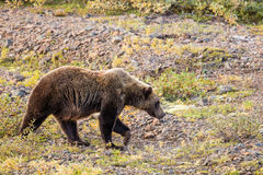 Grizzly Bear in Alaska Royalty Free Stock Image