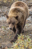 Grizzly Bear in Alaska Stock Photo