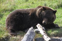 Grizzly Bear in the Alaska Wildlife Conservation Center. This is a photo of a grizzly brown bear taken at the Alaska Wildlife Conservation Center in Alaska while Stock Image