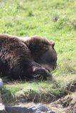 Grizzly Bear in the Alaska Wildlife Conservation Center. This is a photo of a grizzly brown bear taken at the Alaska Wildlife Conservation Center in Alaska while Stock Photo