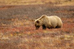 Grizzly bear in Alaskan tundra in Denali national park. Alaskan wildlife royalty free stock photo