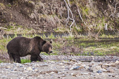 Grizzly bear along river Royalty Free Stock Images