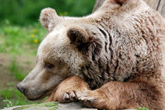 The grizzly bear Stock Images