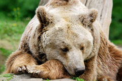 The grizzly bear Royalty Free Stock Image