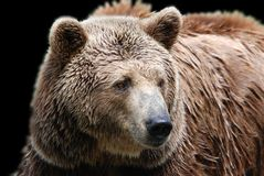 The grizzly bear. Also known as the silvertip bear, the grizzly, or the North American brown bear, is a subspecies of brown bear that generally lives in the Stock Images
