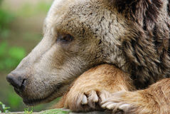The grizzly bear. Also known as the silvertip bear, the grizzly, or the North American brown bear, is a subspecies of brown bear that generally lives in the Royalty Free Stock Photography