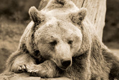 The grizzly bear Royalty Free Stock Photography