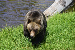 The grizzly bear Stock Image