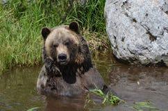 The grizzly bear Stock Photos