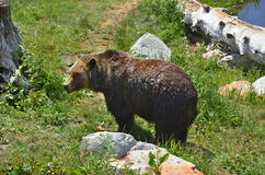 The grizzly bear Royalty Free Stock Images