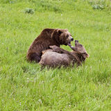 Grizzly Bear arctos ursus pair in fight. Two alaskan brown bears are attempting dominance by fighting, snarling, growling, wrestling, and clawing at the opponent Royalty Free Stock Images