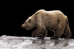 Grizzly bear isolated background