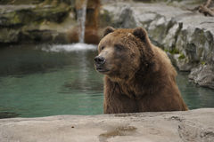 Grizzly bear bathing. Grizzly bear cooling off in a pool of water Royalty Free Stock Image