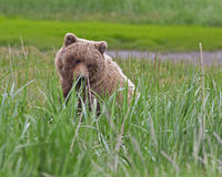 Grizzly bear bear cub Stock Photos