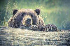 Grizzly bear behind trunk Royalty Free Stock Photography