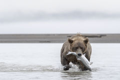 Grizzly bear with a big Salmon. A Grizzly bear carrying a Salmon. The water is shallow due to low tide. Photo taken on August, 2016, Hallo Bay, Katmai National Stock Photos